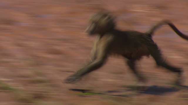 young baboon nervously crosses water; with audio, kenya - young animal点の映像素材/bロール