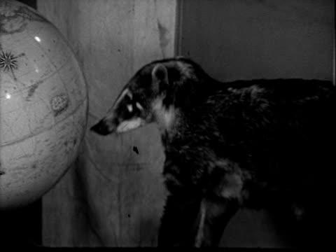 vídeos y material grabado en eventos de stock de young badger exploring television studio - animales en cautiverio