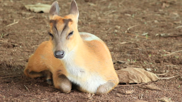young barking deer. - bark stock videos and b-roll footage