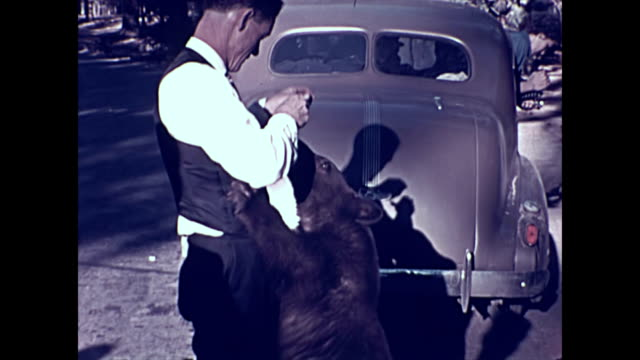 young bear approaches a 1937 pontiac car and tries the door handle / two bears at the rear of the car watched by a woman / a man feeds the bear as he... - 飼い慣らされた点の映像素材/bロール