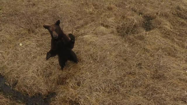 young bear in kunashir island (kuril islands) - bär stock-videos und b-roll-filmmaterial