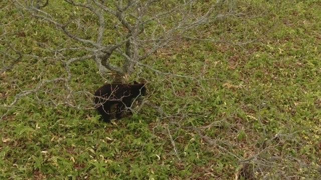 Young Bear in Kunashir Island (Kuril Islands)