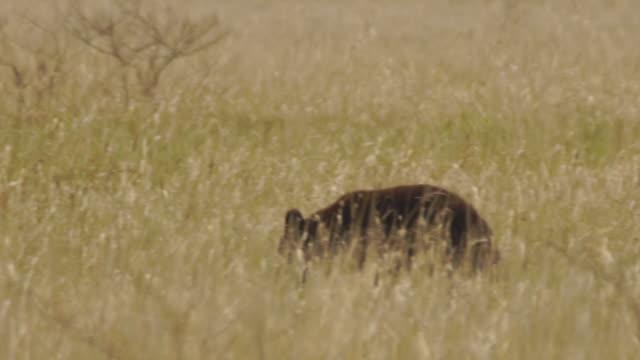 vídeos de stock e filmes b-roll de young bear in kunashir island (kuril islands) - mamífero