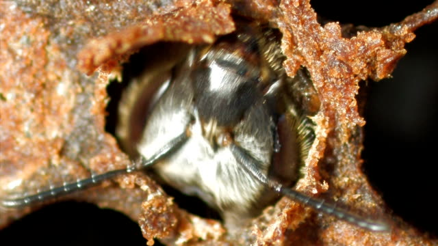 vídeos de stock e filmes b-roll de young bee emerging from it's pupae in the bee hive's cell - inseto
