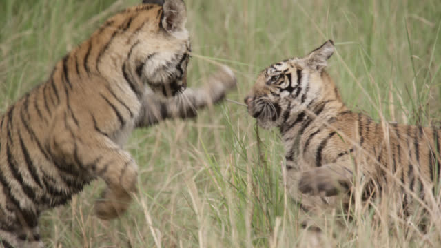 Young Bengal tiger (Panthera tigris) leaps onto sibling, Bandhavgarh, India