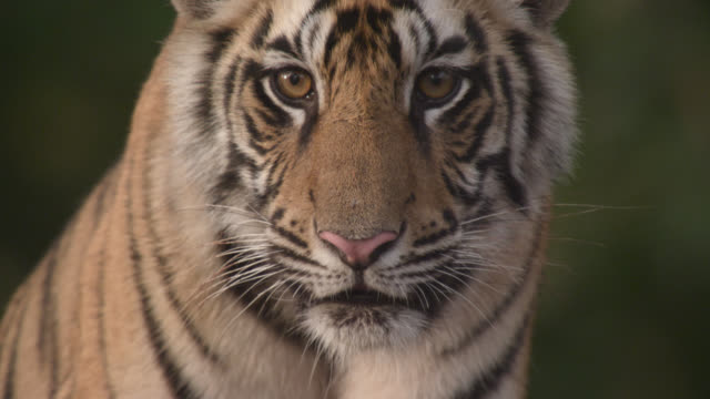 young bengal tiger (panthera tigris) peers around in forest, bandhavgarh, india - wildlife stock videos & royalty-free footage