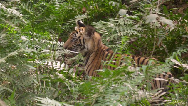 vídeos y material grabado en eventos de stock de young bengal tiger (panthera tigris) peers around in forest undergrowth, bandhavgarh, india - tigre