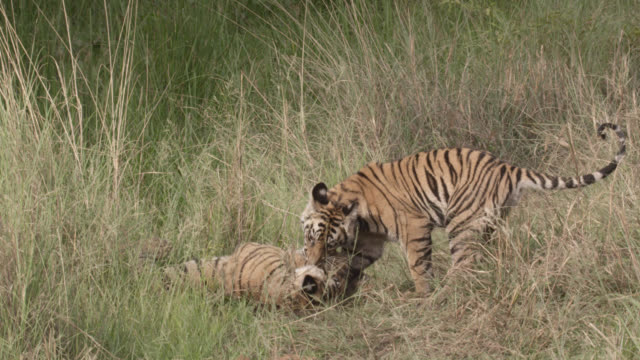young bengal tigers (panthera tigris) play fight, bandhavgarh, india - play fight stock videos and b-roll footage
