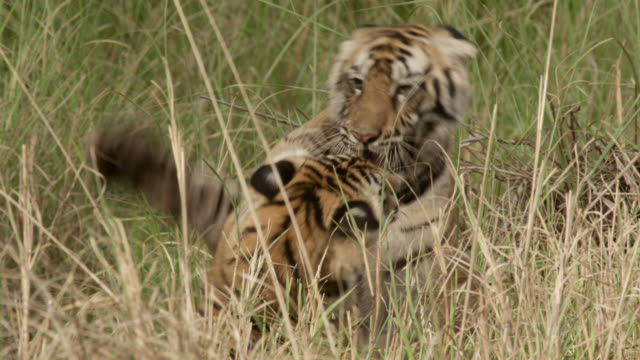 Young Bengal tigers (Panthera tigris) play fight, Bandhavgarh, India