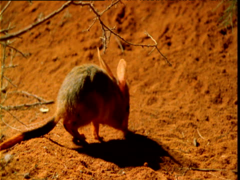 vídeos de stock, filmes e b-roll de young bilby forages in outback at night, western australia - squiggle