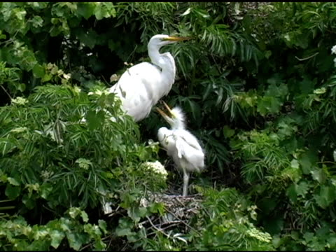 young bird begging it's mother for food - great egret stock videos & royalty-free footage
