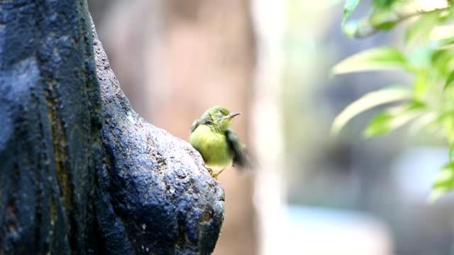 vídeos de stock e filmes b-roll de pássaro jovem obter alimentação de parrent alimentos - alto contraste