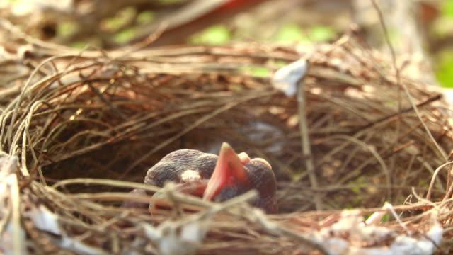 stockvideo's en b-roll-footage met jonge vogels in het nest van de vogel - mond open