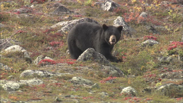 vidéos et rushes de young black bear in the north pole tundra - film documentaire image animée
