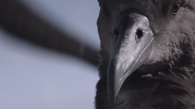 young black footed albatross (phoebastria nigripes) exercise their wings on beach, hawaii - animal wing stock videos & royalty-free footage