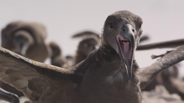 young black footed albatross (phoebastria nigripes) exercises wings on beach, hawaii - albatross stock videos & royalty-free footage