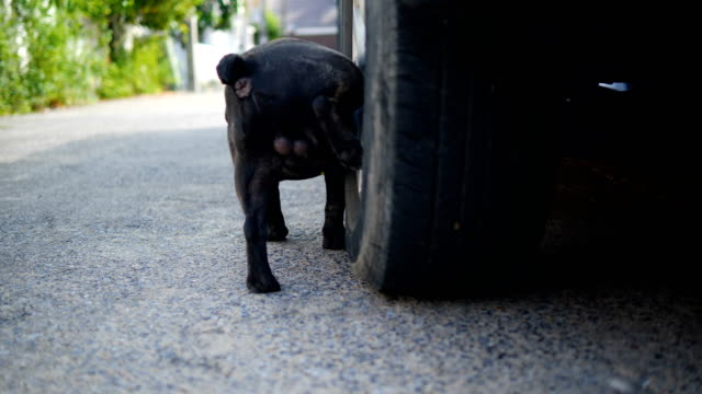 young black french bull dog peeing marking territory on tire. - dog tail stock videos and b-roll footage