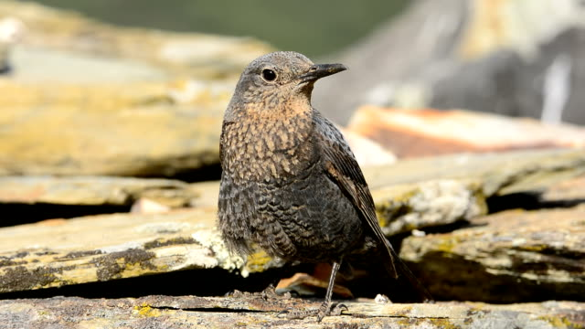 young blue rock thrush on rocks planks. - thrush stock videos & royalty-free footage
