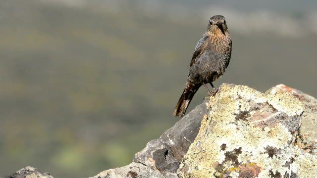 young blue rock thrush on rocks. - thrush stock videos & royalty-free footage
