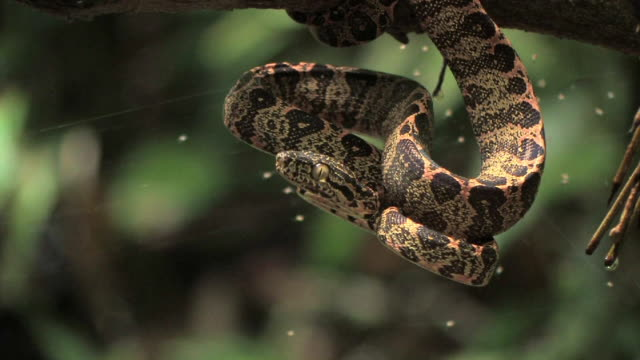 cu young boa constrictor (boa constrictor constrictor) coiling in defensive striking position around tree branch and flicking tongue near spider web in manu national park / peru - tongue stock videos and b-roll footage