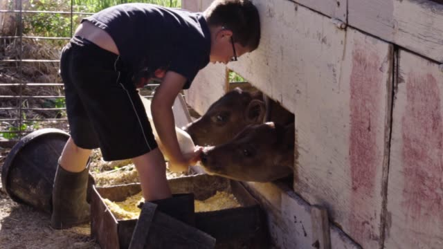 a young boy feeding a baby calf with  a bottle - milk bottle stock videos & royalty-free footage