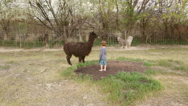 young boy feeding an alpaca doing farm life in western usa during serious times - foster care stock videos & royalty-free footage