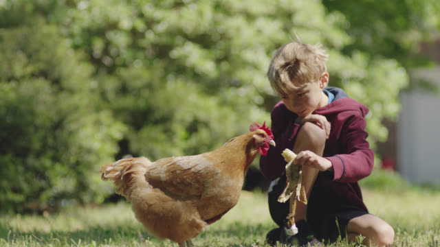 cu young boy hand feeds a chicken in a grassy yard. - chores stock videos & royalty-free footage