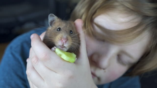 a young boy looking after his pet hamster - pets stock videos & royalty-free footage