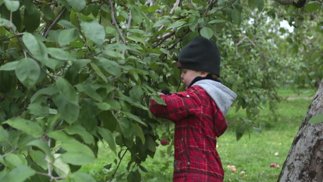 young boy picking apples and having fun in orchard, quebec, canada - orchard stock videos & royalty-free footage