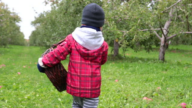 Young Boy Picking Apples and having fun in Orchard, Quebec, Canada