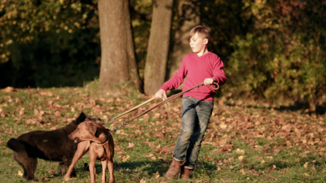 young boy struggles a bit to walk two dogs in a park on a sunny fall day - walking down a little hill - shot-1