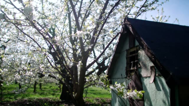 young bright grass in orchard. blooming cherry trees and old shed - shed stock videos & royalty-free footage