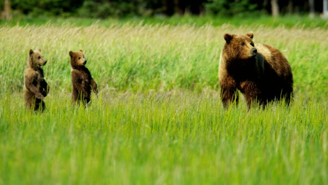 young brown bear cubs inquisitive of their surroundings - vilda djur bildbanksvideor och videomaterial från bakom kulisserna