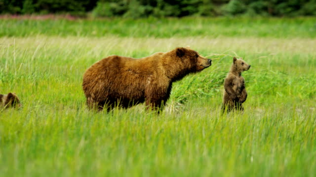 young brown bear cubs inquisitive of their surroundings - grizzlybär stock-videos und b-roll-filmmaterial