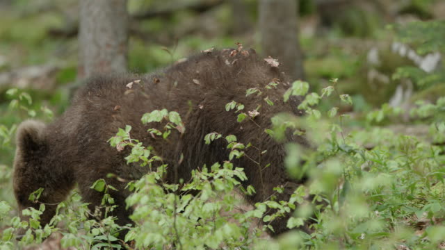vidéos et rushes de young brown bear in beech forest - ours brun