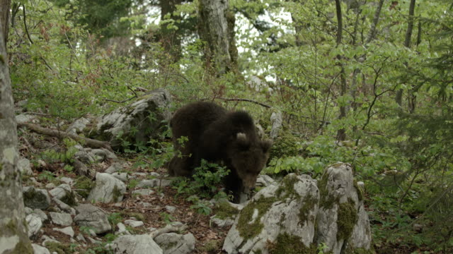 vidéos et rushes de young brown bear looking for food - ours brun