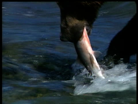 vídeos y material grabado en eventos de stock de cu young brown bear walking through river with salmon in mouth, salmon struggles and escapes, arctic circle - oso pardo