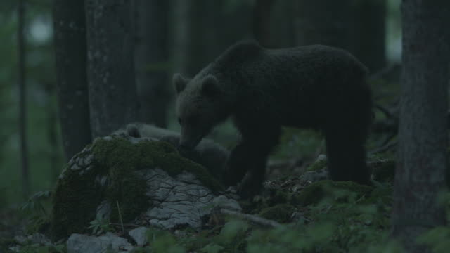 vidéos et rushes de 2 young brown bears inside the forest at night - 2 - ours brun