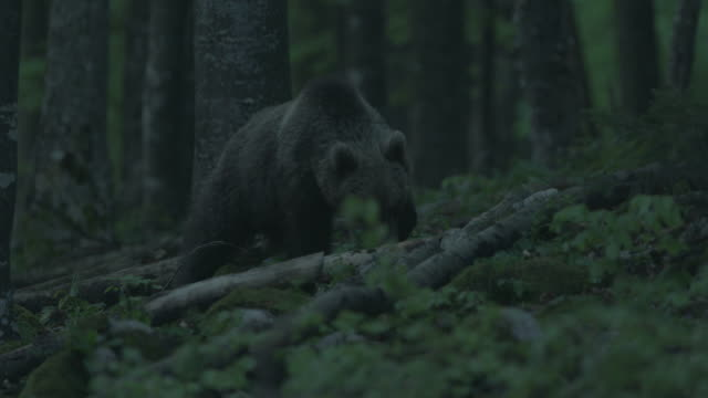 vidéos et rushes de 2 young brown bears inside the forest at night - ours brun