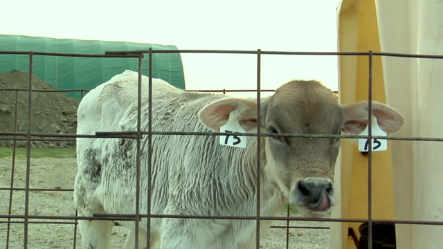 cu, young brown swiss (bos, b. taurus) calf, st. marys, ohio, usa - livestock tag stock videos and b-roll footage
