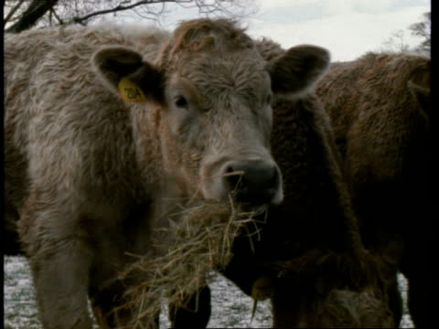 young bull, chewing hay, england, uk - hay stock videos and b-roll footage