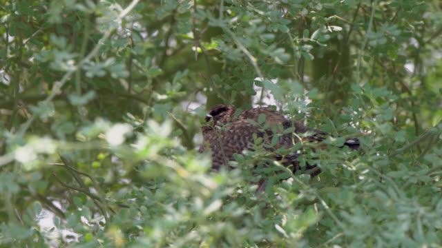 young cactus wren in a palo verde tree - cactus wren stock videos & royalty-free footage