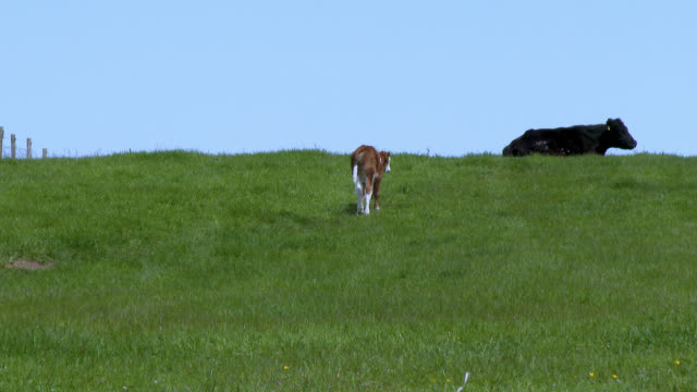 young calf walking towards a cow in a field - johnfscott stock videos & royalty-free footage