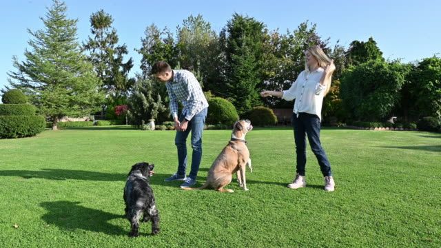 young caucasian couple playing outdoors on lawn with dogs - boxer dog stock videos & royalty-free footage