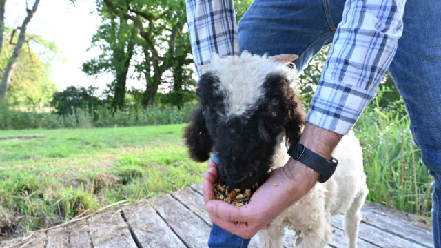 young caucasian man feeding valais blacknose lamb by hand - west sussex stock videos & royalty-free footage