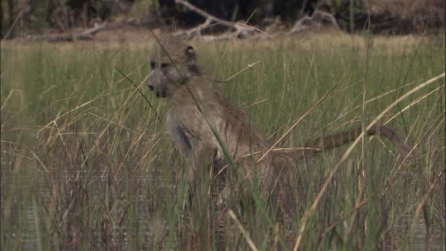 young chacma baboon wades and forages in swamp, okavango delta, botswana - 一匹点の映像素材/bロール
