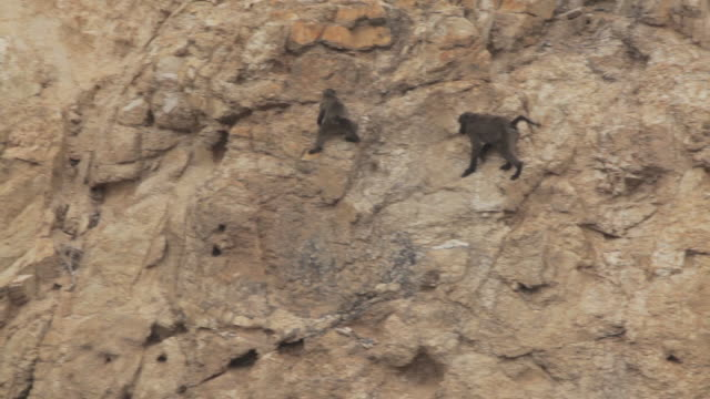 Young Chacma baboons (Papio ursinus) play across a rockface near the city of Cape Town.