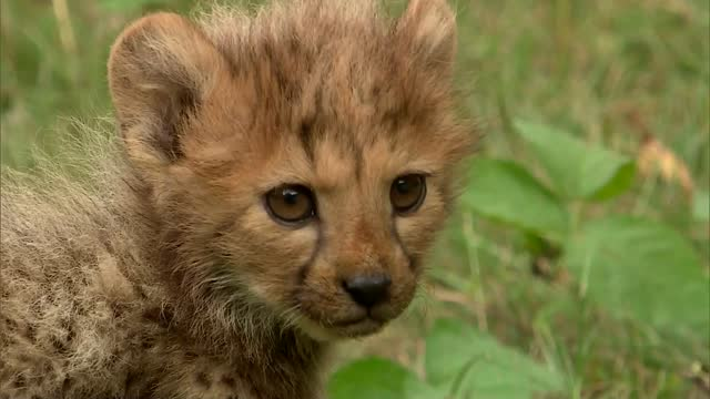 young cheetah - spotted stock videos & royalty-free footage