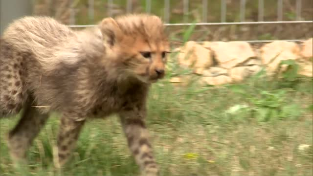 young cheetahs - spotted stock videos & royalty-free footage