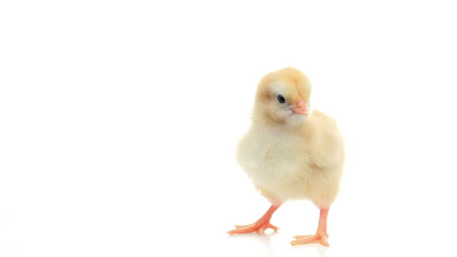 hd young chick isolated on white - baby chicken stock videos & royalty-free footage